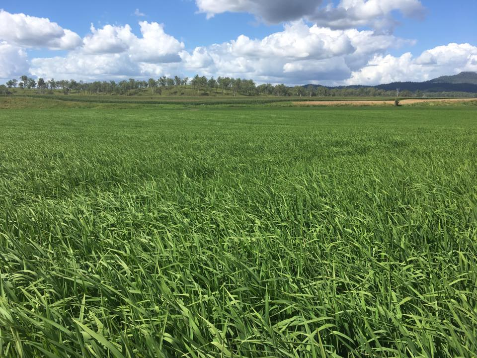 Rice growing at Tooloonki